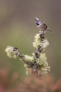 Crested tit (Lophophanes cristatus) perching on lichen covered branch, Glenfeshie, Cairngorms National Park, Scotland, UK, February. - SCOTLAND: The Big Picture