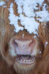 Highland cow close up with mouth open, Glenfeshie, Cairngorms National Park, Scotland, UK, March. - SCOTLAND: The Big Picture