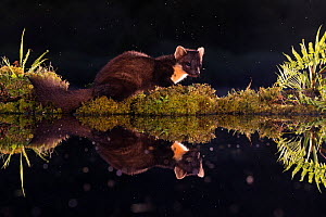 Pine marten (Martes martes) reflected in woodland pool at night, Ardnamurchan, Lochaber, Scotland, UK, June. - SCOTLAND: The Big Picture