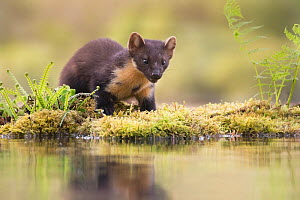 Pine marten (Martes martes) reflected in woodland pool, Ardnamurchan, Lochaber, Scotland, UK, June. - SCOTLAND: The Big Picture