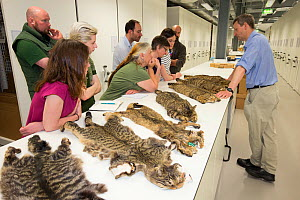 Scottish Wildcat Action project staff learning about Scottish wildcat (Felis silvestris grampia) pelage markings through examining pelts at National Collections Centre, Edinburgh, Scotland, UK, July 2...  -  SCOTLAND: The Big Picture