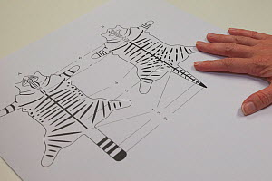 Diagram of Scottish wildcat (Felis silvestris grampia) pelage markings, part of a learning session for staff from the Scottish Wildcat Action project, National Collections Centre, Edinburgh, Scotland,...  -  SCOTLAND: The Big Picture