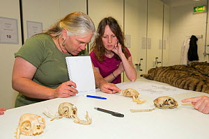 Scottish Wildcat Action project staff learning about Scottish wildcat (Felis silvestris grampia) skulls at National Collections Centre, Edinburgh, Scotland, UK, July 2015.  -  SCOTLAND: The Big Picture