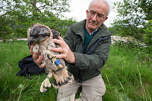 Bird ringer Roy Dennis holding Osprey (Pandion haliaetus) fledgling after having ringed it under licence, Glenfeshie, Cairngorms National Park, Scotland, UK, July 2015.  -  SCOTLAND: The Big Picture