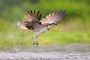 Osprey (Pandion haliaetus) flying above water, Rothiemurchus, Cairngorms National Park, Scotland, UK, July.  -  SCOTLAND: The Big Picture