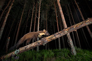 Pine marten (Martes martes) climbing a fallen bough in pine forest, Glenfeshie, Cairngorms National Park, Scotland, UK, September. - SCOTLAND: The Big Picture