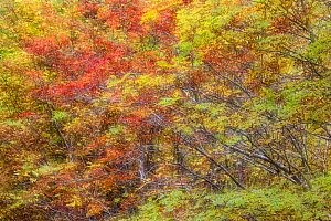 Abstract of Rowan / Mountain ash (Sorbus aucuparia), Glen Affric, Highlands, Scotland, UK, October. - SCOTLAND: The Big Picture