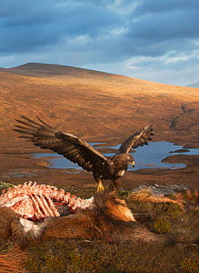 Golden eagle (Aquila chrysaetos) feeding on Red deer (Cervus elaphus) carcass, Assynt, Sutherland, Highland, Scotland, January.  -  SCOTLAND: The Big Picture