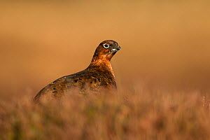 Red Grouse (Lagopus lagopus scotica) female in heather, Deeside, Cairngorms National Park, Scotland, UK, February.  -  SCOTLAND: The Big Picture