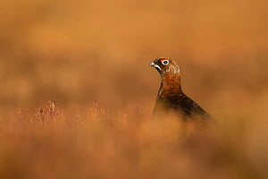 Red Grouse (Lagopus lagopus scotica) male in heather, Deeside, Cairngorms National Park, Scotland, UK, February.  -  SCOTLAND: The Big Picture