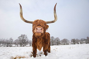 Highland cow in snow, Glenfeshie, Cairngorms National Park, Scotland, UK, February. - SCOTLAND: The Big Picture
