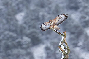 Buzzard (Buteo buteo) perched on alder snag, Cairngorms National Park, Scotland, UK, February.  -  SCOTLAND: The Big Picture
