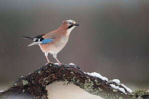 Eurasian jay (Garrulus glandarius) on branch, Cairngorms National Park, Scotland, UK, February.  -  SCOTLAND: The Big Picture