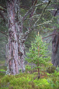 Young Scots pine (Pinus sylvestris) with veteran tree behind, Rothiemurchus Forest, Cairngorms National Park, Scotland, UK, June. - SCOTLAND: The Big Picture