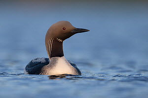 Black throated diver (Gavia arctica) swimming, Assynt, Sutherland, Highland, Scotland, UK, June. - SCOTLAND: The Big Picture