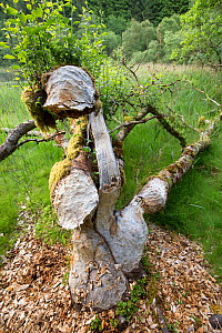 Alder (Alnus glutinosa) tree felled by Eurasian beaver (Castor fiber), Knapdale Forest, Argyll, Scotland, UK, June 2016.  -  SCOTLAND: The Big Picture