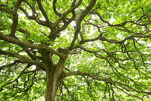 Ancient Sessile oak (Quercus petraea) in summer foliage, Taynish National Nature Reserve, Argyll, Scotland, UK, June 2016.  -  SCOTLAND: The Big Picture