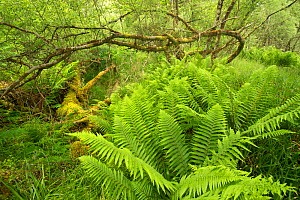 Ferns and mossy deadwood in Atlantic oakwood, Taynish National Nature Reserve, Argyll, Scotland, UK, June. - SCOTLAND: The Big Picture