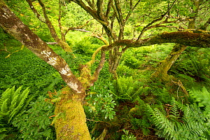 Moss covered Sessile oak (Quercus petraea) and ferns in Atlantic oakwood, Taynish National Nature Reserve, Argyll, Scotland, UK, June.  -  SCOTLAND: The Big Picture