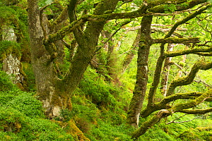 Moss covered Sessile oaks (Quercus petraea) and ferns in Atlantic oakwood, Taynish National Nature Reserve, Argyll, Scotland, UK, June.  -  SCOTLAND: The Big Picture