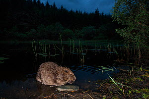Eurasian beaver (Castor fiber) foraging at night, Knapdale Forest, Argyll, Scotland, UK, June. - SCOTLAND: The Big Picture