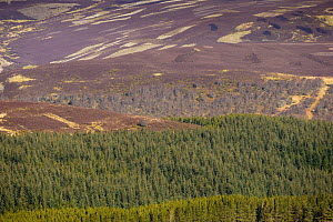 Mixed habitat of heather moorland and commercial forestry on grouse shooting estate, Deeside, Cairngorms National Park, Scotland, UK, April 2016.  -  SCOTLAND: The Big Picture