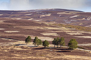 Patchwork of upland heather moorland and isolated Scots pine (Pinus sylvestris) trees on grouse shooting estate, Cairngorms National Park, Scotland, UK, April 2016. - SCOTLAND: The Big Picture