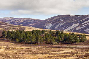 Patchwork of upland heather moorland and isolated Scots pine (Pinus sylvestris) woodland on grouse shooting estate, Cairngorms National Park, Scotland, UK, April 2016. - SCOTLAND: The Big Picture