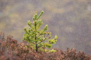 Scots Pine (Pinus sylvestris) sapling amongst heather, Deeside, Cairngorms National Park, Scotland, UK, April. - SCOTLAND: The Big Picture