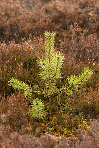 Scots pine (Pinus sylvestris) sapling amongst heather, Cairngorms National Park, Scotland, UK, April 2016. - SCOTLAND: The Big Picture