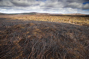 Area of fresh muirburn showing burnt heather, Lochindorb Estate, Deeside, Cairngorms National Park, Scotland, UK,, April 2016.  -  SCOTLAND: The Big Picture