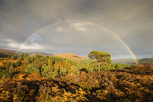 Rainbow over Scots pine (Pinus sylvestris) trees, Glen Affric, Highlands, Scotland, UK, October 2015. - SCOTLAND: The Big Picture