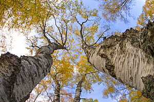 Silver Birch (Betula pendula) trees in autumn colour, Craigellachie National Nature Reserve, Aviemore, Cairngorms National Park, Scotland, UK, October.  -  SCOTLAND: The Big Picture