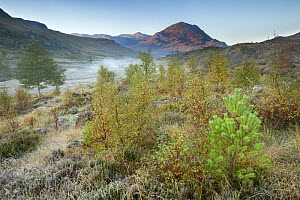 Silver birch (Betula pendula) and Scots pine (Pinus sylvestris) regeneration in area of reduced grazing, Beinn Eighe National Nature Reserve, Torridon, Highlands, Scotland, UK, October 2015. - SCOTLAND: The Big Picture