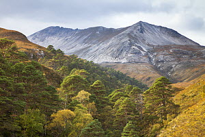 Scots pine (Pinus sylvestris) trees growing in wooded ravine, Beinn Eighe National Nature Reserve, Torridon, Wester Ross, Scotland, UK, October 2015. - SCOTLAND: The Big Picture