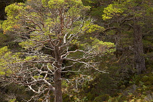 Scots pine (Pinus sylvestris) growing in wooded ravine, Beinn Eighe National Nature Reserve, Torridon, Wester Ross, Scotland, UK, October. - SCOTLAND: The Big Picture