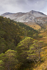 Scots pine (Pinus sylvestris) trees growing in wooded ravine, Beinn Eighe National Nature Reserve, Wester Ross, Scotland, UK, October 2015. - SCOTLAND: The Big Picture