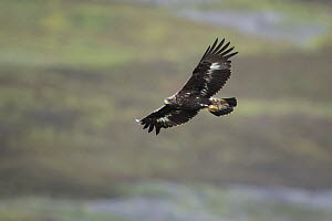 Golden eagle (Aquila chrysaetos) sub-adult flying, Strathdearn, Inverness-shire, Scotland, UK, August.  -  SCOTLAND: The Big Picture