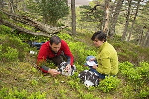 Field workers recording data from Golden eagle (Aquila chrysaetos) chick, Glen Tanar Estate, Aberdeenshire, Scotland, UK, June 2015. - SCOTLAND: The Big Picture