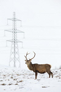 Red deer (Cervus elaphus) stag on snowy moor with electricity pylon in background, Scotland, UK, March 2015. - SCOTLAND: The Big Picture