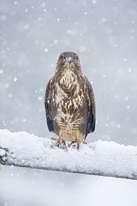 Common buzzard (Buteo buteo) perching on gate in falling snow, Scotland, UK, January.  -  SCOTLAND: The Big Picture