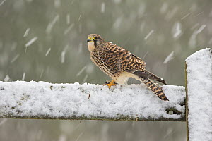 Kestrel (Falco tinnunculus) female perching on gate in falling snow, Scotland, UK, December.  -  SCOTLAND: The Big Picture