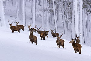 Herd of Red deer (Cervus elaphus) stags in clearing in snow covered pine forest, Cairngorms National Park, Scotland, UK, December.  -  SCOTLAND: The Big Picture