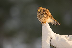 Kestrel (Falco tinnunculus) female perching on gate in snow, Scotland, UK, December.  -  SCOTLAND: The Big Picture