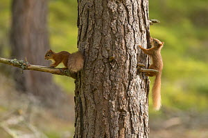 Two young Red squirrels (Sciurus vulgaris) chasing each other around pine trunk, Scotland, UK, September. - SCOTLAND: The Big Picture