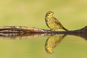 Yellowhammer (Emberiza citrinella) juvenile reflected in garden pond, Scotland, UK, July. - SCOTLAND: The Big Picture