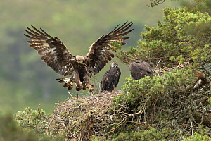 Golden eagle (Aquila chyrsaetos) female flying into nest site with small branch, Glen Tanar Estate, Cairngorms National Park, Scotland, UK, June.  -  SCOTLAND: The Big Picture