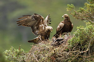 Golden eagle (Aquila chrysaetos) pair at nest in pine tree, Glen Tanar Estate, Cairngorms National Park, Scotland, UK, June.  -  SCOTLAND: The Big Picture