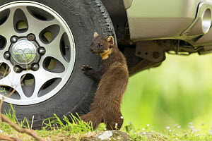 Pine marten (Martes martes) standing against tyre of vehicle on garden driveway, Scotland, UK, June 2014. - SCOTLAND: The Big Picture