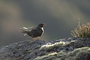 Ring ouzel (Turdus torquatus) female perching on rock with food for chicks, Scotland, UK, May.  -  SCOTLAND: The Big Picture